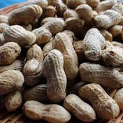 大粒生落花生「おおまさり」農薬化学肥料不使用 3kg 野菜(豆類) 通販