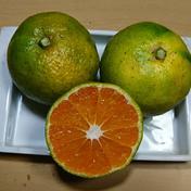シーズン一番手!極早生(ごくわせ)みかん 約3kg 果物(みかん) 通販