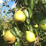 ラ•フランスIキロと小粒ジャム用2キロ 果物や野菜などのお取り寄せ宅配食材通販産地直送アウル