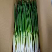 収穫始まりました! 岩子島のわけぎ 2Kg 2Kg 広島県 通販