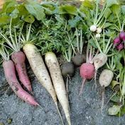 やっちゃん農園の土付き無農薬大根6本セット 青首大根・赤大根・紅芯大根、各2本 島根県 通販