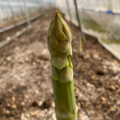 AMAZINGアスパラガス復活 1kg 野菜(アスパラガス) 通販