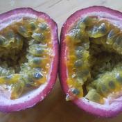 【農薬不使用】冷蔵熟成パッションフルーツ50玉 50玉 果物(その他果物) 通販