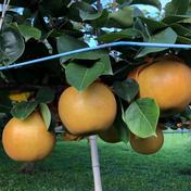 けんちゃん梨園の新高梨(送料込) 5k箱(大玉6〜10個入)ギフトにもお使い頂けます 5k箱(6〜10玉) 果物(梨) 通販