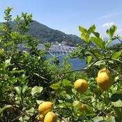 無農薬グリーンレモン 2.7キロ 広島県 通販