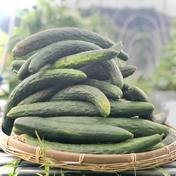 【5本】SAGAの朝採りきゅうり★山の中の大自然で愛情込めて栽培♪ 5本 野菜(きゅうり) 通販