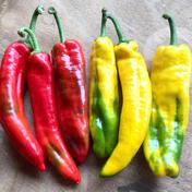 数量限定!飛騨産パレルモ 6本(赤3本・黄3本) 飛騨産パレルモ (赤3本・黄3本) 野菜(パプリカ) 通販