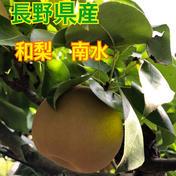 長野県産 和梨【南水】6キロ 6kg 果物(梨) 通販