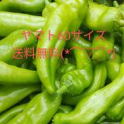 【お試し】ジャンボ中辛青唐辛子(福耳唐辛子) 700g 群馬県 通販