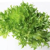 新鮮!ココワーク自慢の葉物野菜3種セット 約2kg 大阪府 通販