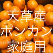 ポンカン 家庭用 10kg  箱込10kg  果物(柑橘類) 通販