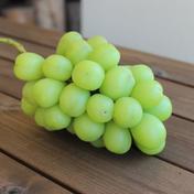 シャインマスカット 1.5kg以上 果物(ぶどう) 通販