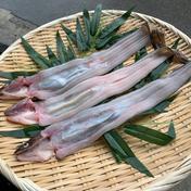 [明石名物]天然穴子(大) 大サイズの穴子(開く前は200g前後)を3匹 魚介類(穴子(生)) 通販