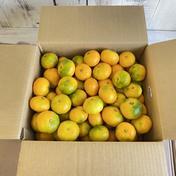 はまださんちの極早生みかん 10キロ箱家庭用(総重量9.9キロ) 9.4キロ 果物や野菜などのお取り寄せ宅配食材通販産地直送アウル