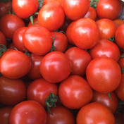 田辺さんちのミニトマト1k 1k 野菜(トマト) 通販