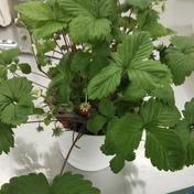 四季なり苺の苗鉢(Wild-strauberry種) 一鉢 その他(花・植物) 通販