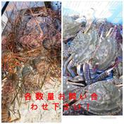 訳あり活伊勢海老、渡り蟹よくばりセット 各1キロずつ 伊勢海老1キロ(2〜3匹)渡り蟹1キロ(2〜3匹) 千葉県 通販