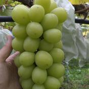 山形県産シャインマスカット 約1.8キロ 果物(ぶどう) 通販
