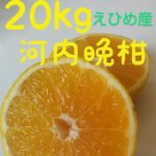 北海道向け河内晩柑【訳あり】 20kg 石川ファーム