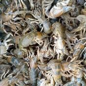 激レアな魚!マジャク(穴ジャコ)冷凍!お得1キロ! 1キロ!(約50匹)500g×2袋 熊本県 通販