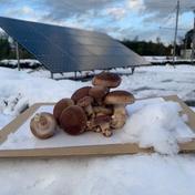 コンテナ栽培 極み 菌床生しいたけ 1kg  野菜(きのこ) 通販