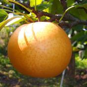 《予約》 新高 梨 5-6個 愛媛県産 新高梨 ナシ なし 新高 5-6個 果物(梨) 通販