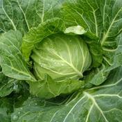 もり農園の朝獲りキャベツ(4玉セット) 4kg 野菜(キャベツ) 通販