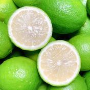 3k☆ワックス防腐剤不使用グリーンレモンおまけ付 3キロ 24個から30個程度 果物(レモン) 通販