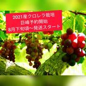 人に自然に優しく♫クロレラ栽培巨峰2キロ(6〜8房入り) 2kg(6〜8房入り目安) 果物 通販
