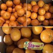 紅甘夏、ポンカン、伊予柑、みかん食べ比べセット5キロ 5キロ 山梨県 通販