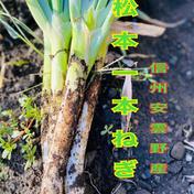 のぐちファーム のぐちファーム安曇野産☆サイズ混合松本いっぽんネギ土つき10キロ 10キロ