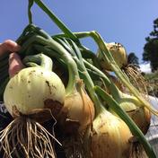 大樹地農園 ついにスタート‼️お試し新玉ネギ1.5kg🧅 1.5kg