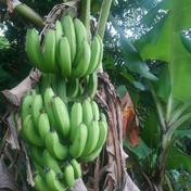 台湾バナナ(仙人蕉) 1.5㎏ 果物 通販