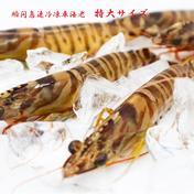特大サイズ 500g(12尾前後)【活きの鮮度をそのまま】新鮮!活き〆瞬間急速冷凍 車海老  特大サイズ 500g(13尾前後) 250g×2パック 魚介類(エビ) 通販