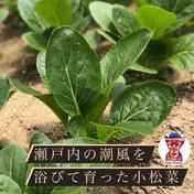 ワカイファーミーの小松菜パック🥬2kg!!(約10袋分!) 2キロ 広島県 通販