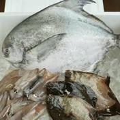高級魚マナガツオと夏のおすすめ煮付け用魚セット マナガツオ1匹、メイタガレイ約3匹、べいか10匹 果物や野菜などのお取り寄せ宅配食材通販産地直送アウル