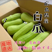 漬物に最適!白瓜5キロ(約8本)パック😋 5キロ(約8本) 野菜 通販