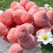 うらかわ菅農園 冷凍イチゴ「恋みのり」 800g入り 2袋(1.6kg)