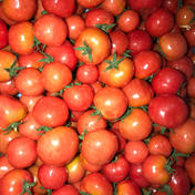 【プチぷよ】薄皮プレミアムミニトマト 赤ちゃんのぽっぺみたいな新食感 1kg 瀧口農園
