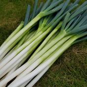 さくま農園「不揃いネギ2㎏」 2.0㎏ 野菜(ねぎ) 通販