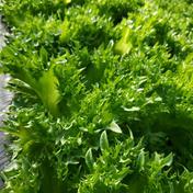 【送料込み】水耕レタス10袋【和歌山県産】 10袋 和歌山県 通販