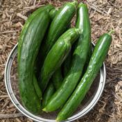 農薬不使用のキュウリ 1kg袋 果物や野菜などのお取り寄せ宅配食材通販産地直送アウル