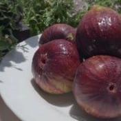 城農園の完熟いちじく 1kg 果物や野菜などのお取り寄せ宅配食材通販産地直送アウル