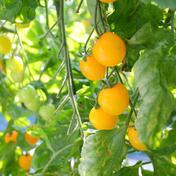 甘~い。黄色のミニトマト 約1.5kg 野菜(トマト) 通販
