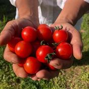 【糸島産】濃い甘!!磯貝農園定番ミニトマト(2キロ) ミニトマト(2キロ) 野菜(トマト) 通販