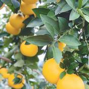 小玉も食べてみて*グレープフルーツ・さがんルビー4k 4K 15個程度 果物(柑橘類) 通販