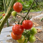 薄皮ミニトマト 200g 果物や野菜などのお取り寄せ宅配食材通販産地直送アウル