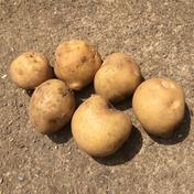 ちびじゃが(キタアカリ5キロ) 5キロ 野菜(じゃがいも) 通販