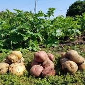 さくま農園「新じゃが食べくらべセット3㎏」 3.0㎏ 野菜(じゃがいも) 通販