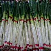 平野さんちの白ネギ 小サイズ 約40本 (約3キロ)  野菜(ねぎ) 通販